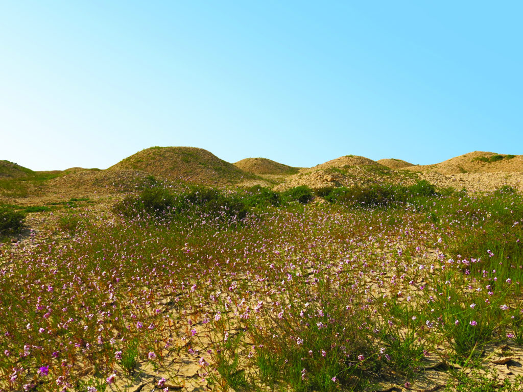 Dilmun Burial Mounds, Bahrain. Madinat Hamad 1 Burial Mound Field. Photo Melanie Münzner, ©Think Heritage, courtesy of UNESCO.